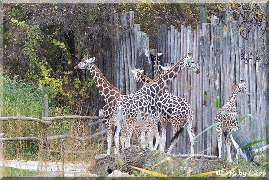 Rothschildgiraffe, Marabu