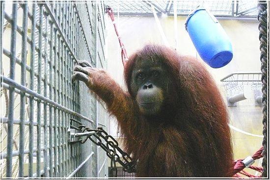 Sumatra-Orang-Utan PUAN