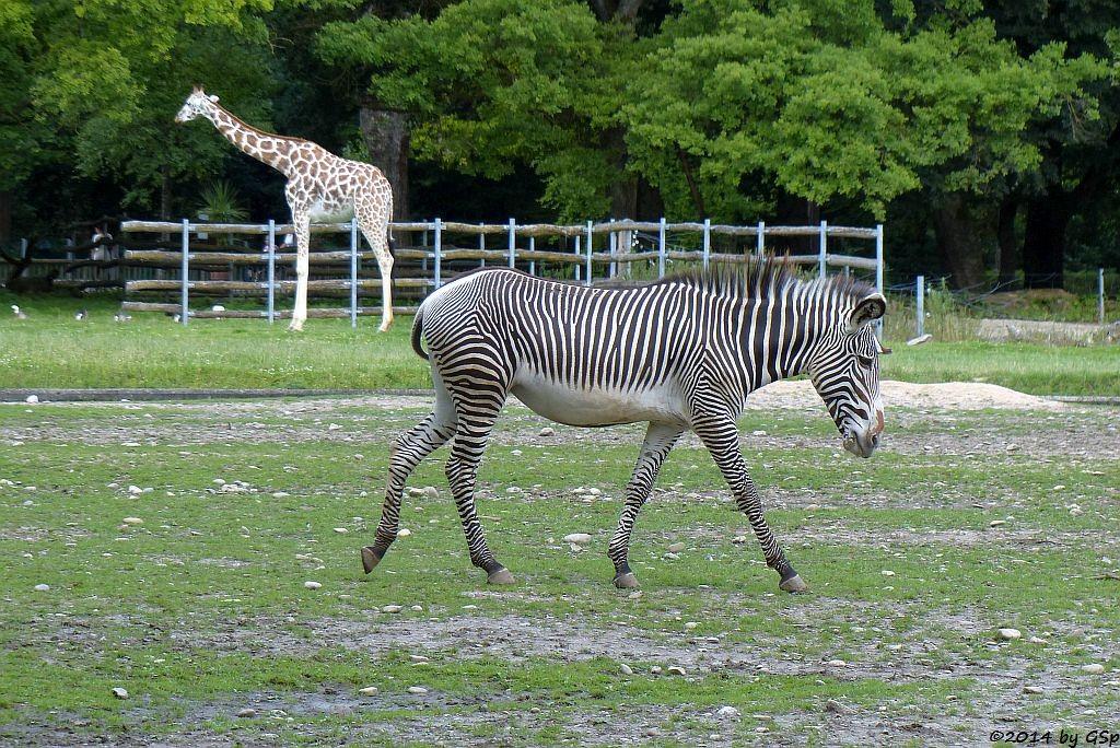 Rothschildgiraffe, Grévy-Zebra