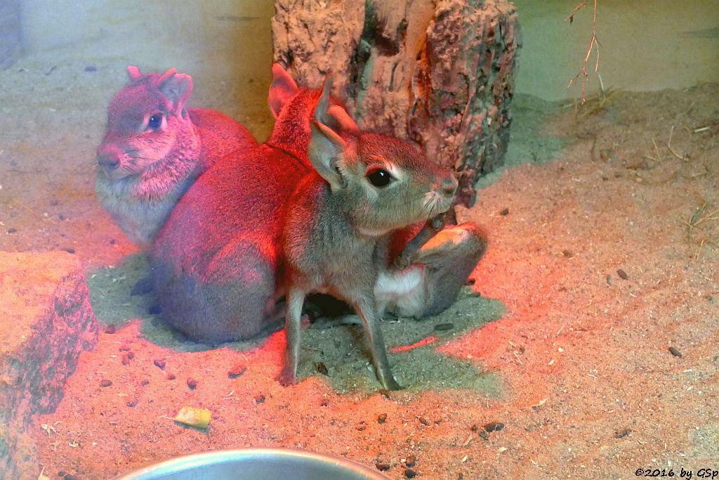 Kleiner Mara (Zwergmara)