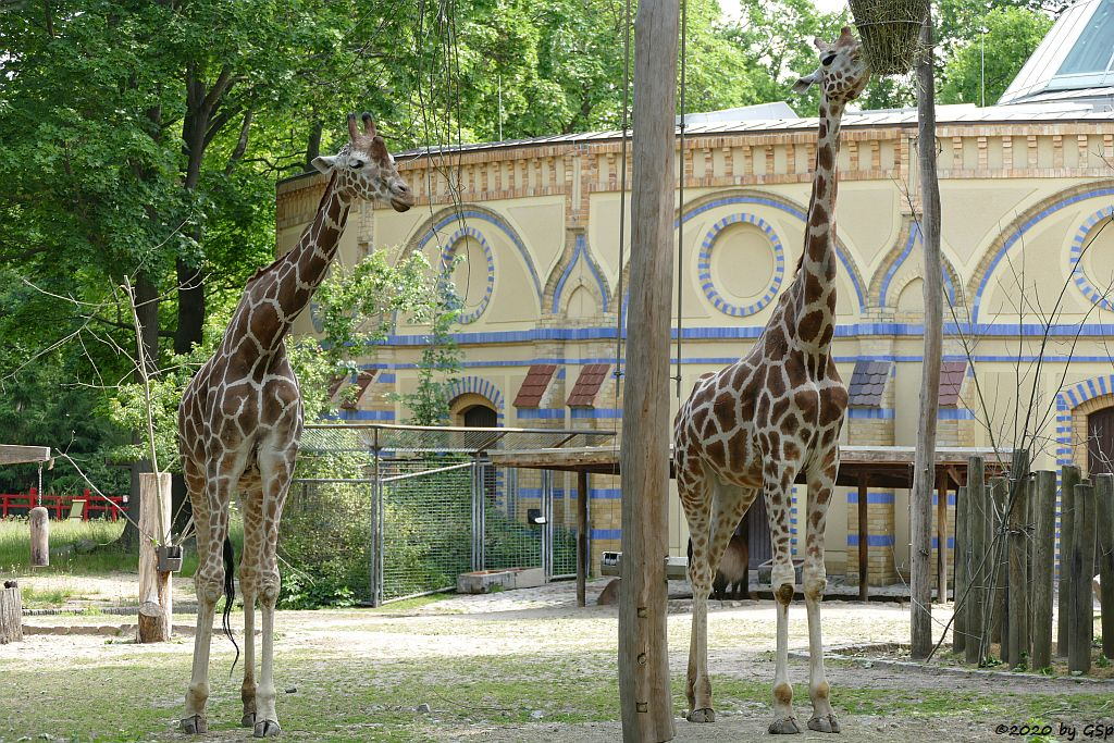 Netzgiraffe, Rothschildgiraffe (Uganda-Giraffe, Baringo-Giraffe)