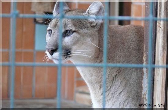 Montana-Puma