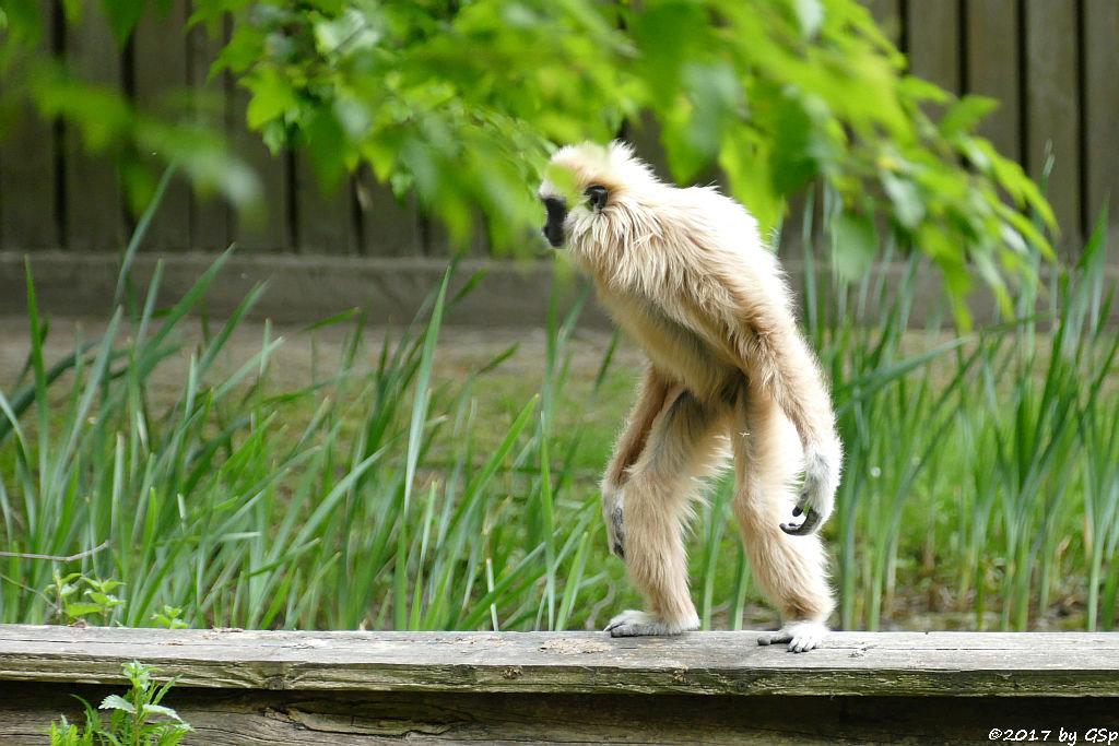 Weißhandgibbon (Lar)
