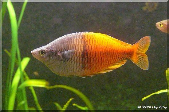 Boeseman's Regenbogenfisch