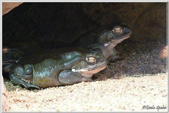 Sonorakröte (Coloradokröte)
