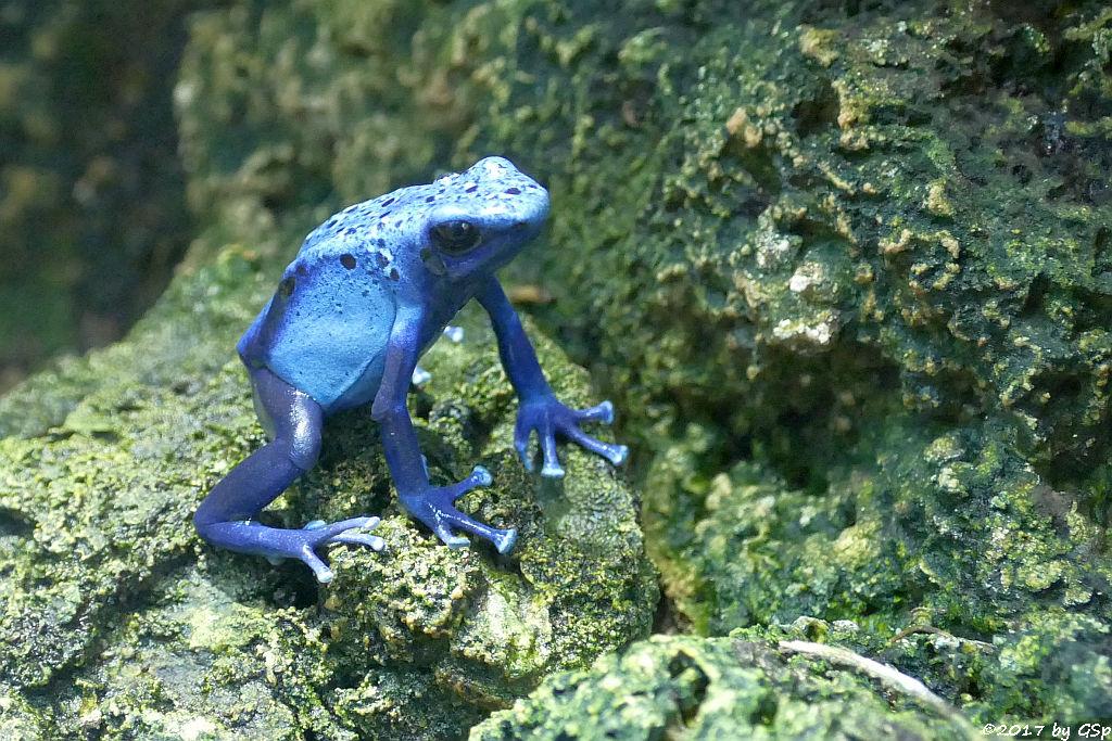 Blauer Baumsteiger (Blauer Pfeilgiftfrosch, Azurblauer Pfeilgiftfrosch)