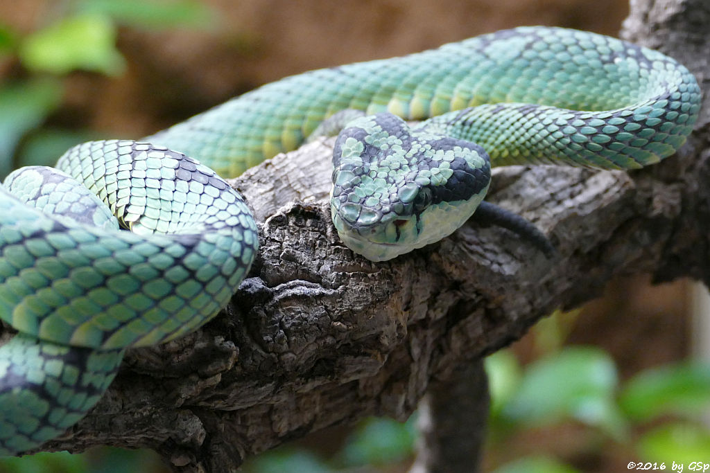 Ceylon-Lanzenotter (Skri-Lanka-Lanzenotter, Ceylon-Buschviper)