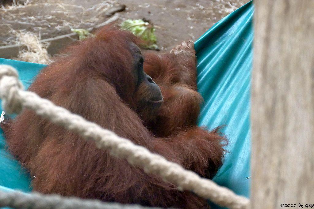 Sumatra-Orang-Utan ROSA mit SAYANG