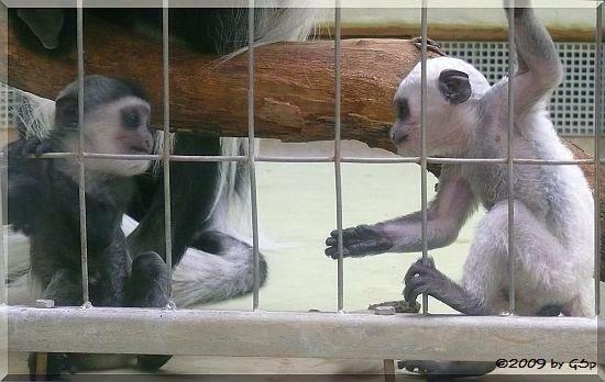 Kikuyu-Guereza, Jungtiere 4 1-2 und 9 Wochen alt.