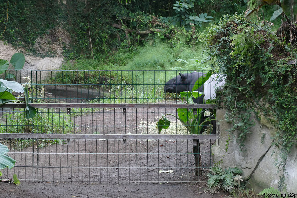 Schabrackentapir (Malaysischer Tapir) COPASHI