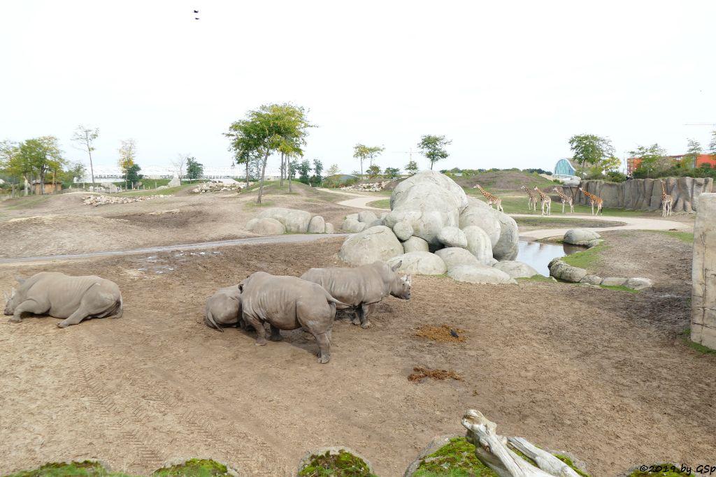 Südliches Breitmaulnashorn, Rothschildgiraffe (Uganda-Giraffe, Baringo-Giraffe)