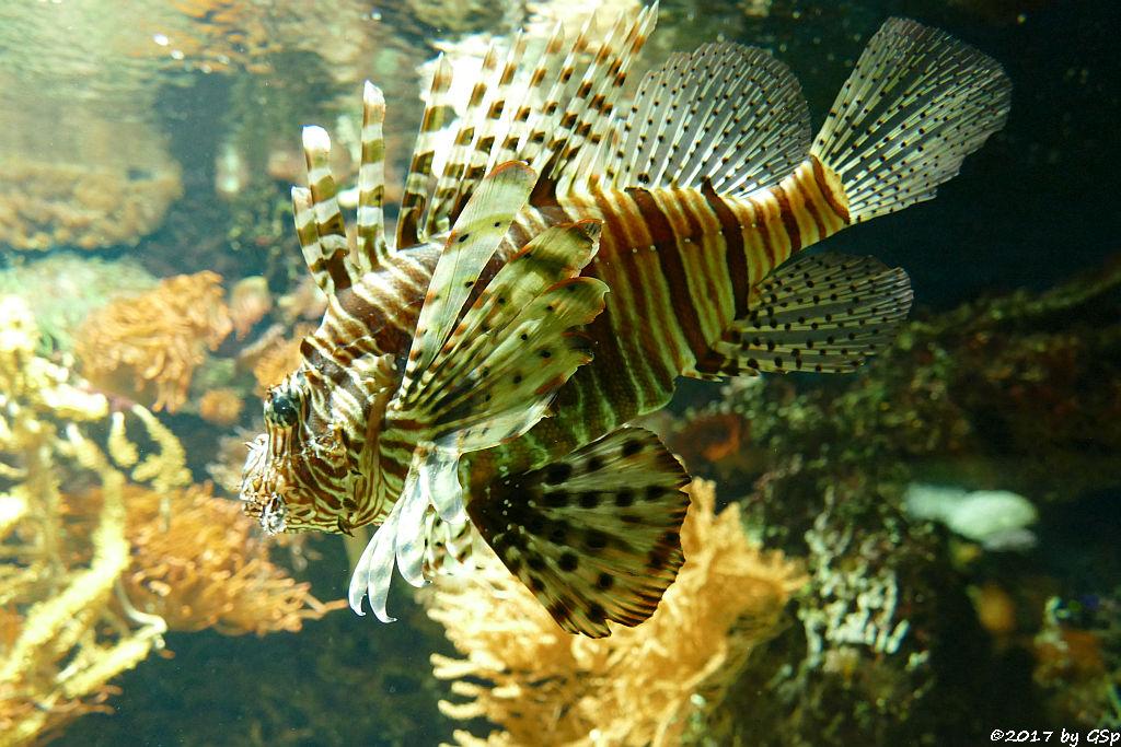 Pazifischer Rotfeuerfisch (Eigentl. Rotfeuerfisch)
