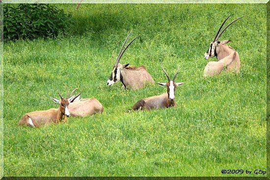 Blässbock und Beisa-Antilope