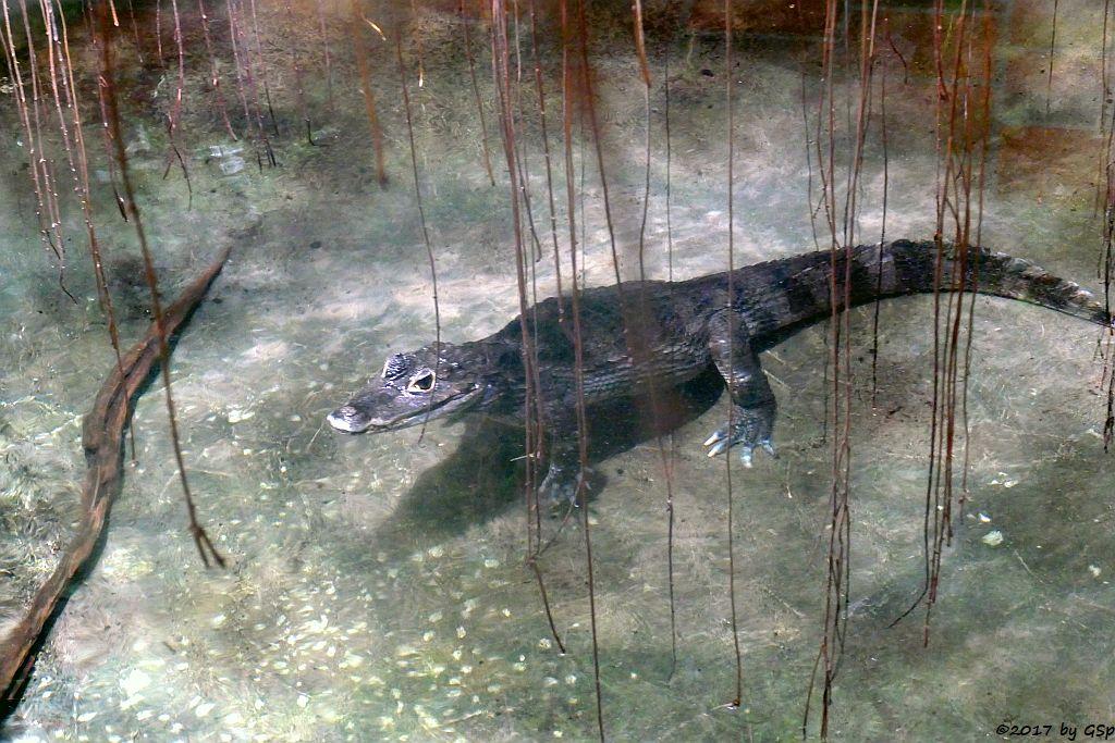 Krokodilkaiman (Brillenkaiman)