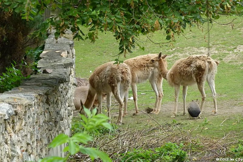Vikunja, Mara, Capybara