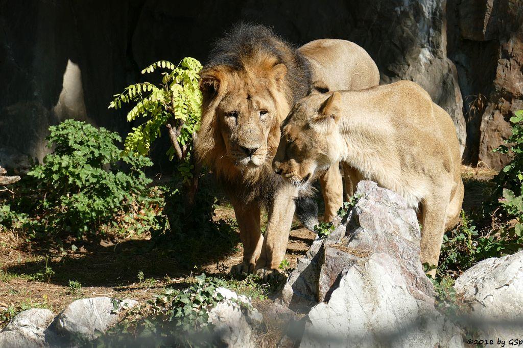 Asiatischer (Indischer) Löwe KUMAR und ZARINA