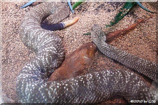 Uracoan-Klapperschlange