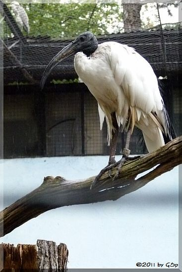 Heiliger Ibis