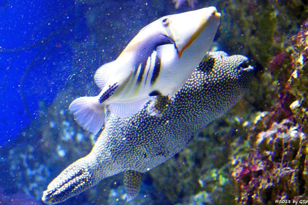 Gemeiner Picasso-Drückerfisch (Picassofisch), Sternenkugelfisch (Perlhuhn-Kugelfisch)