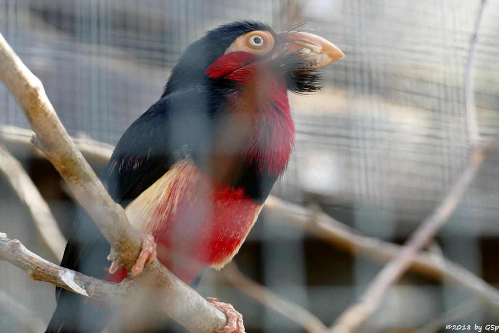 Furchenschnabel-Bartvogel (Senegal-Furchenschnabel)