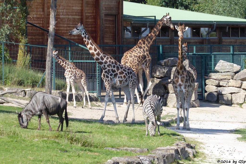 Streifengnu, Böhm-Steppenzebra (Grant-Zebra), Rothschild-Giraffe (Uganda-Giraffe)