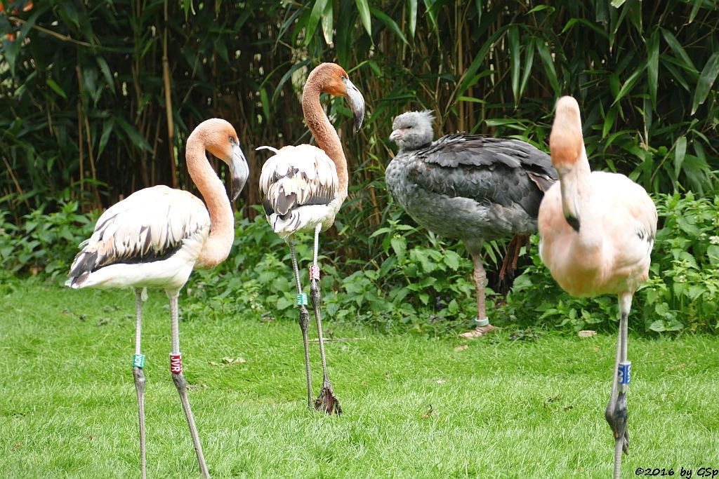 Kubaflamingo, Halsband-Wehrvogel (Schopfwehrvogel, Tschaja)