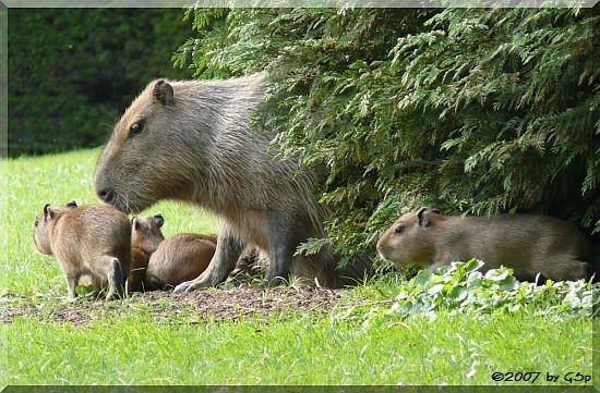 Capybara mit Jungtieren