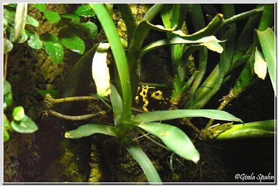 Gelbgebänderter Pfeilgirftfrosch
