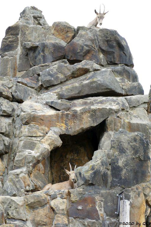 Sibirischer Steinbock