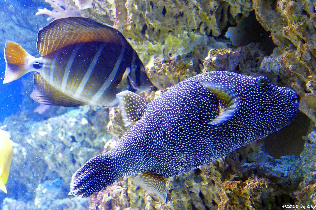 Pazifischer Segelflossen-Doktorfisch (Östl. Segelflossen-Doktorfisch), Sternenkugelfisch (Perlhuhn-Kugelfisch)
