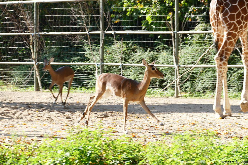 Gewöhnliche Impala (Schwarzfersenantilope), Netzgiraffe