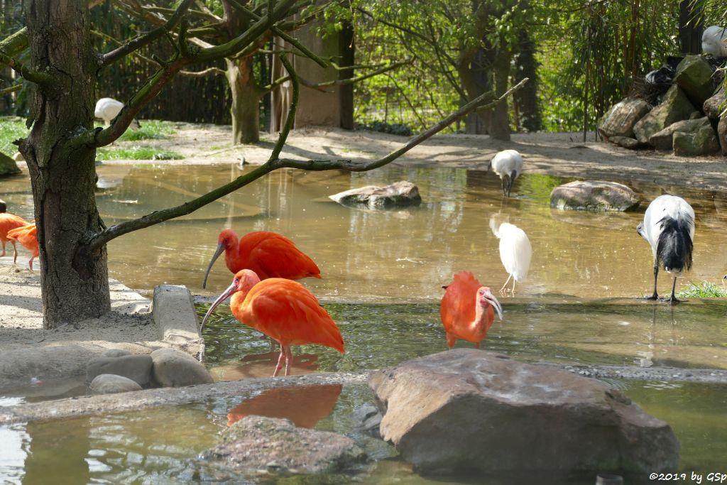 Roter Sichler (Scharlachibis, Rotibis), Kuhreiher, Heiliger Ibis