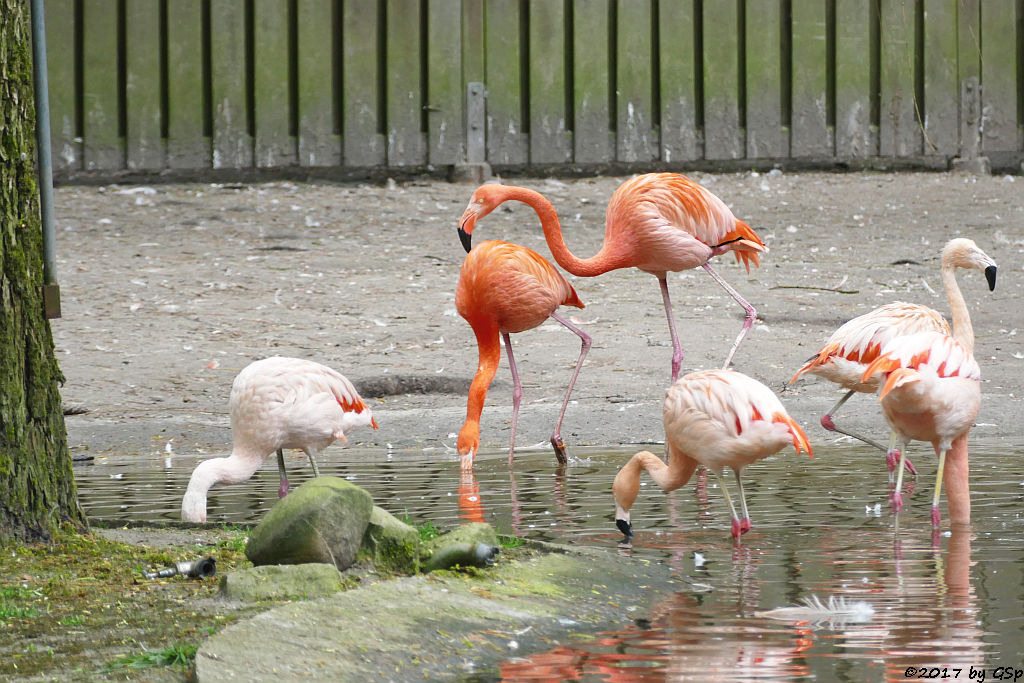 Chileflamingo (Chilenischer Flamingo), Kubaflamingo (Karibischer Flamingo, Roter Flamingo)