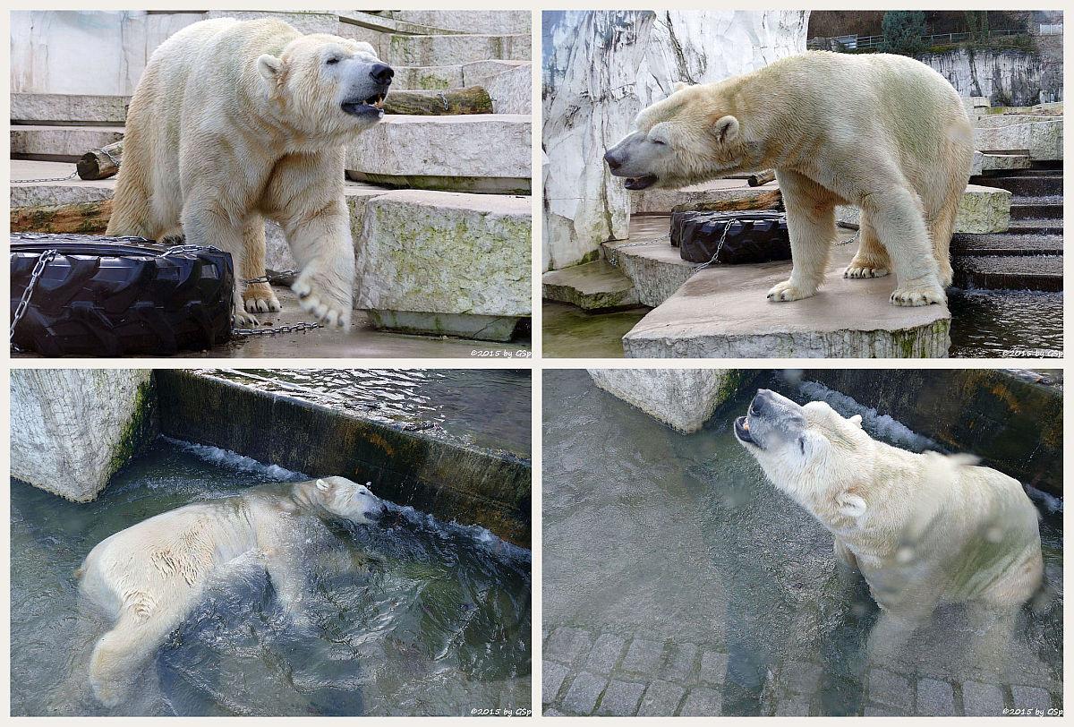 """Eisbär - weitere Fotos unter """"Tierisch aktiv"""" - Eisbär"""