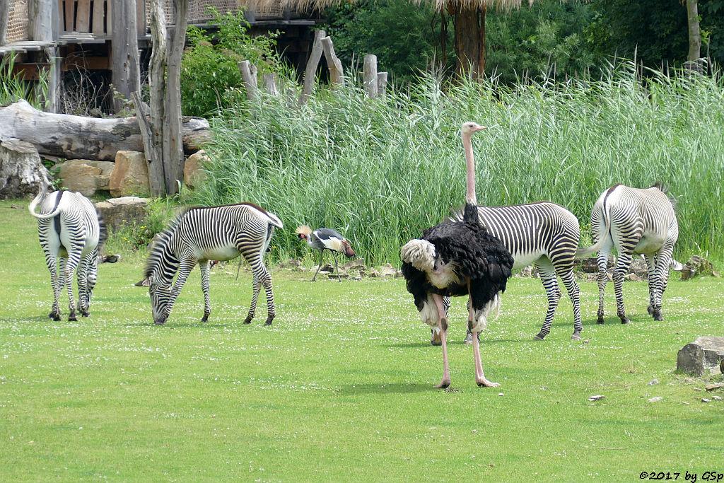 Grévy-Zebra, Südafrikanischer Kronenkranich, Nordafrikanischer Strauß (Nordafrikanischer Rothalsstrauß)