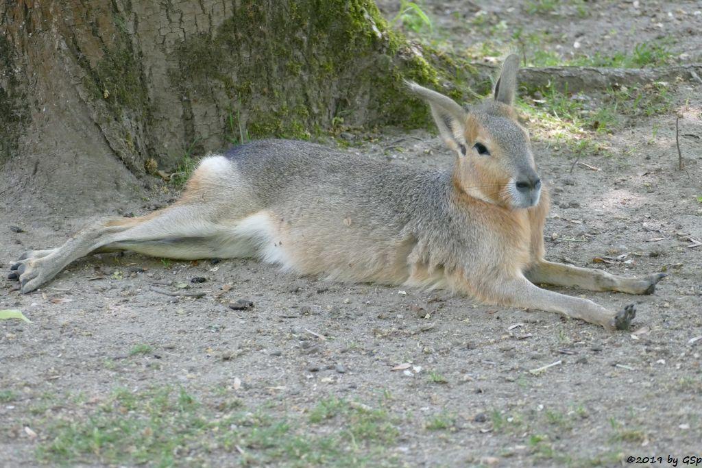 Großer Pampashase (Große Mara, Großer Mara)