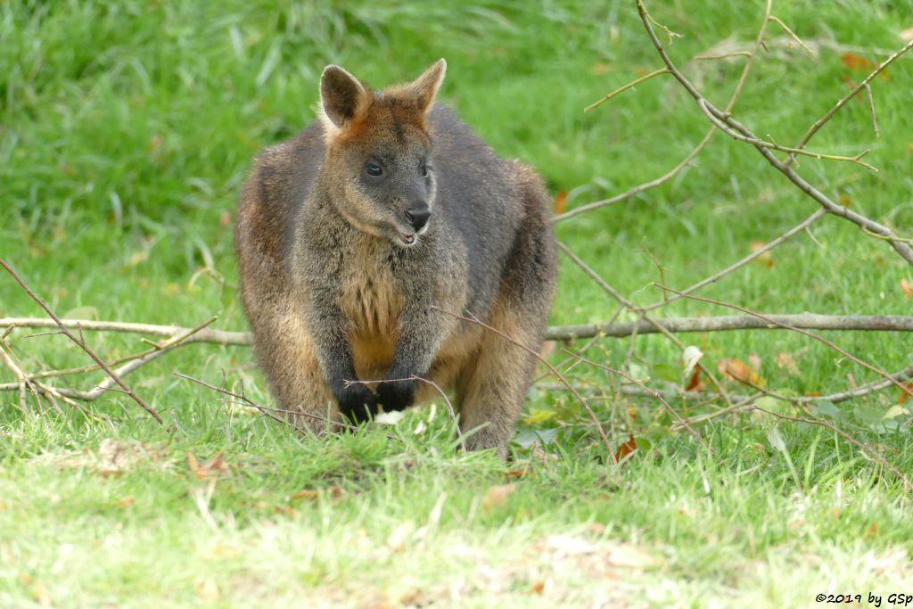 Sumpfwallaby (Schwarzschwanzkänguru)