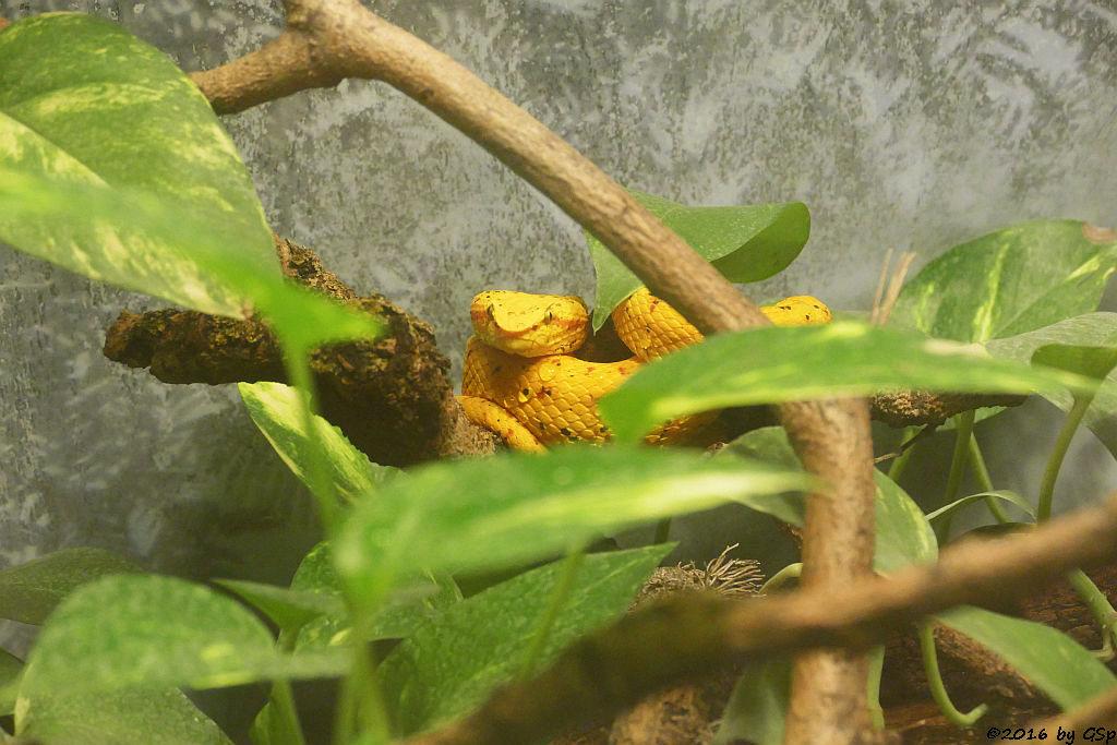 Greifschwanz-Lanzenotter (Schlegels Lanzenotter)