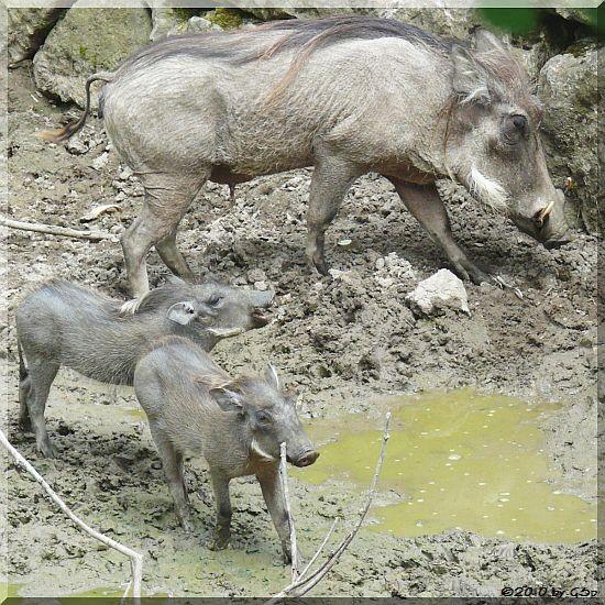Warzenschwein m. Jungtiieren, geb. am 9.4.10