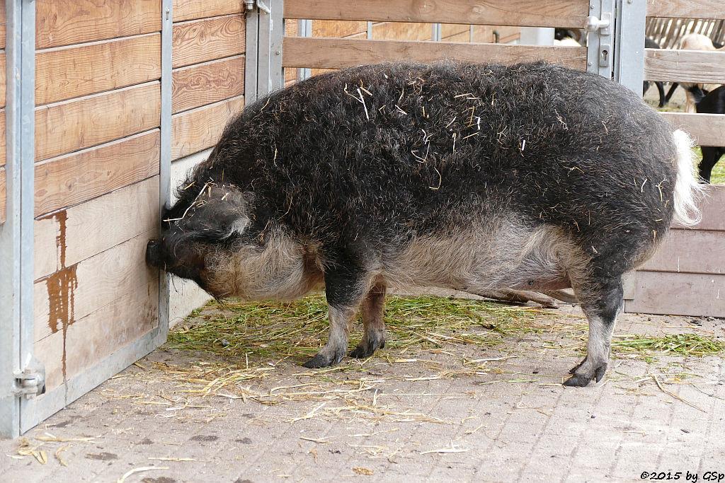 Mangalitzaschwein Schwalbenbauch (Wollschwein)