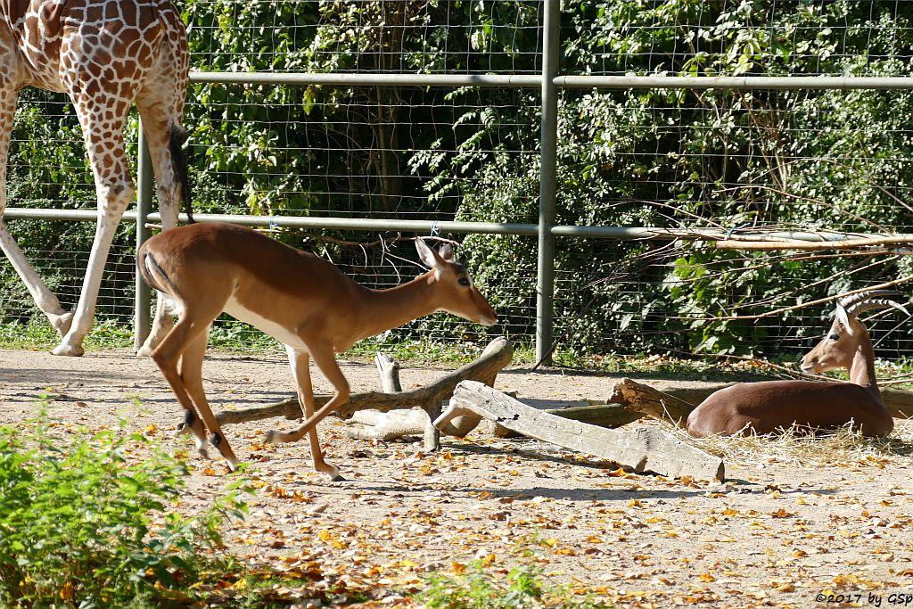 Netzgiraffe, Gewöhnliche Impala (Schwarzfersenantilope,