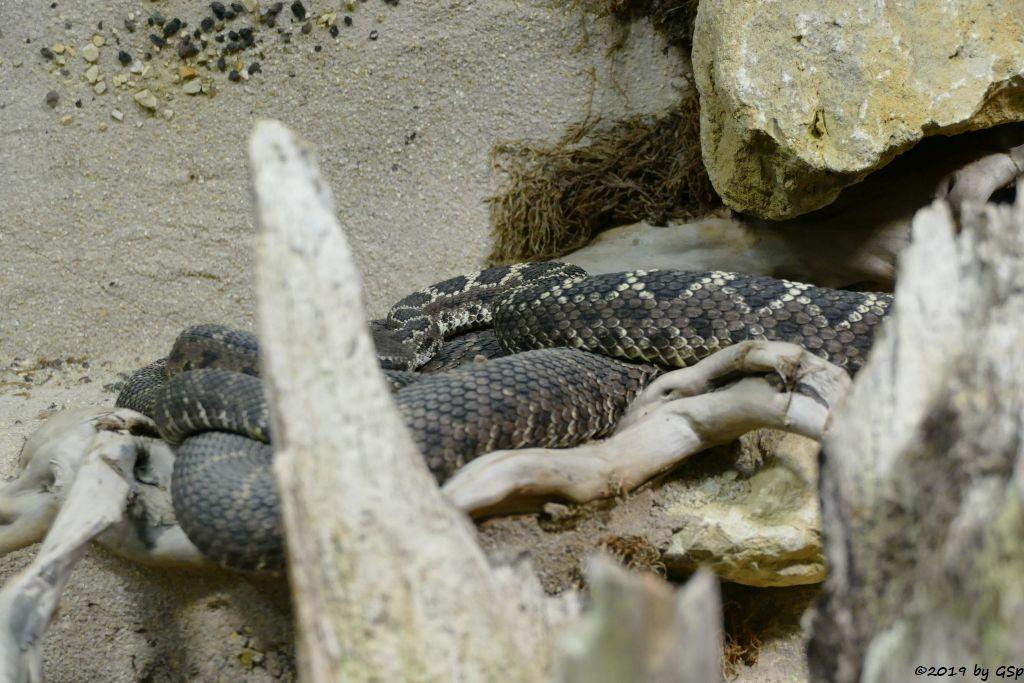 Schwarze Arizona-Klapperschlange