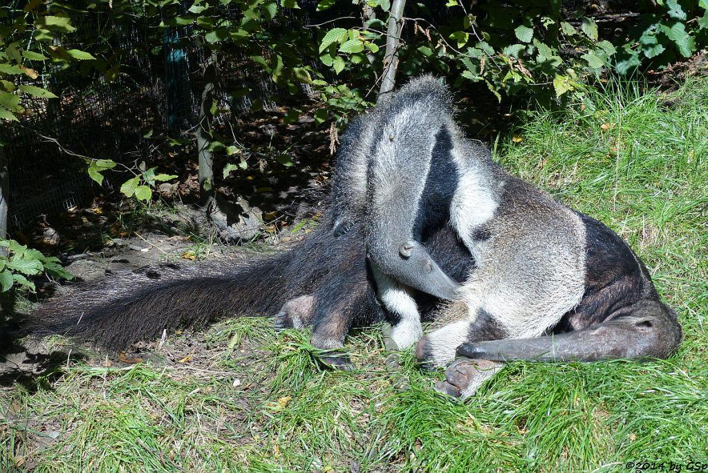 Großer Ameisenbär, Jungtier geb. am 3.3.14
