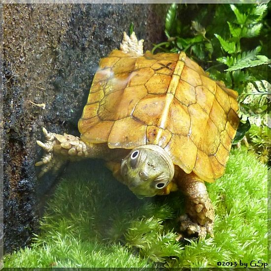 Zacken-Erdschldkröte