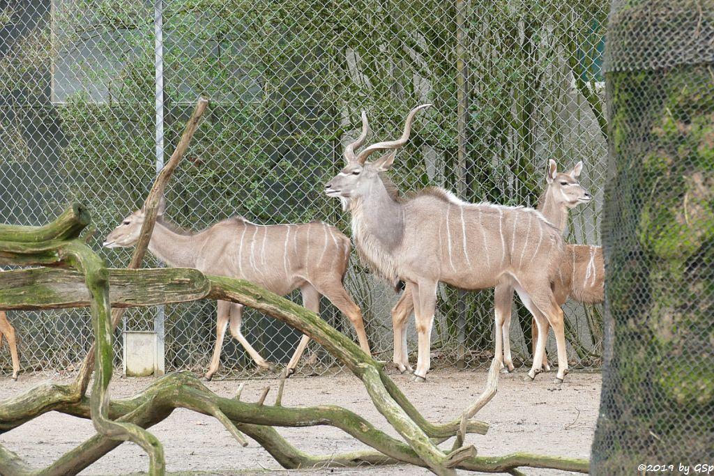 Großer Kudu