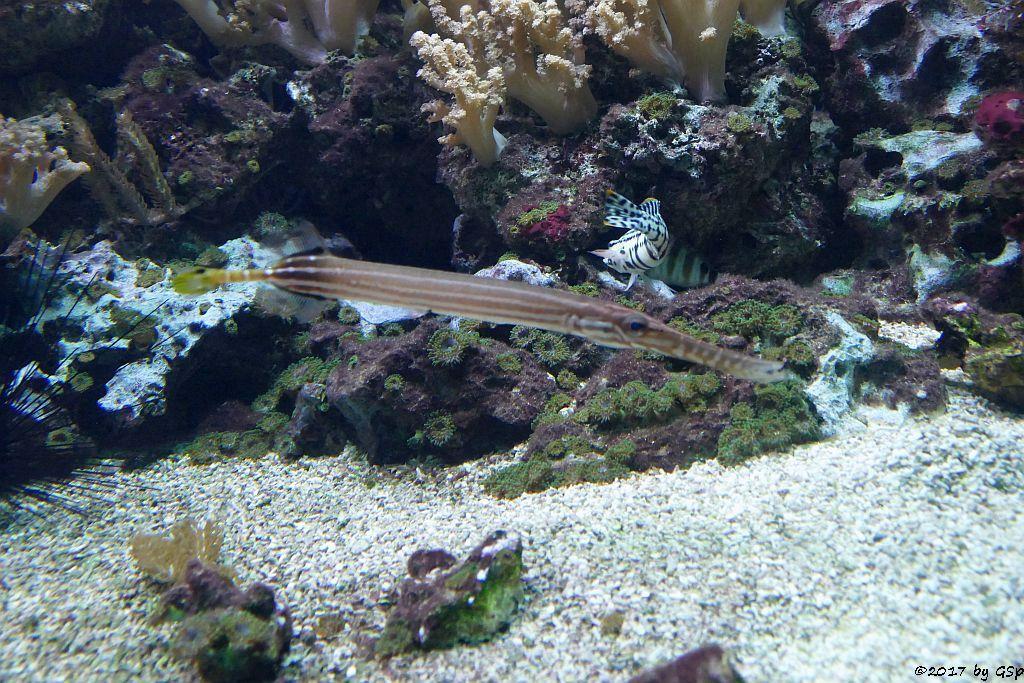 Westatlantischer Trompetenfisch (Gefleckter Trompetenfisch)