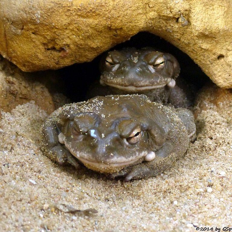 Sonorakröte