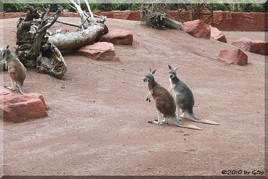 Emu und Rotes Riesenkänguru