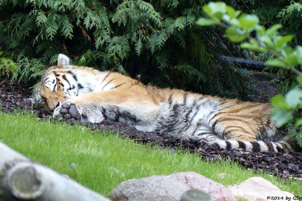 Sibirischer Tiger LAILEK