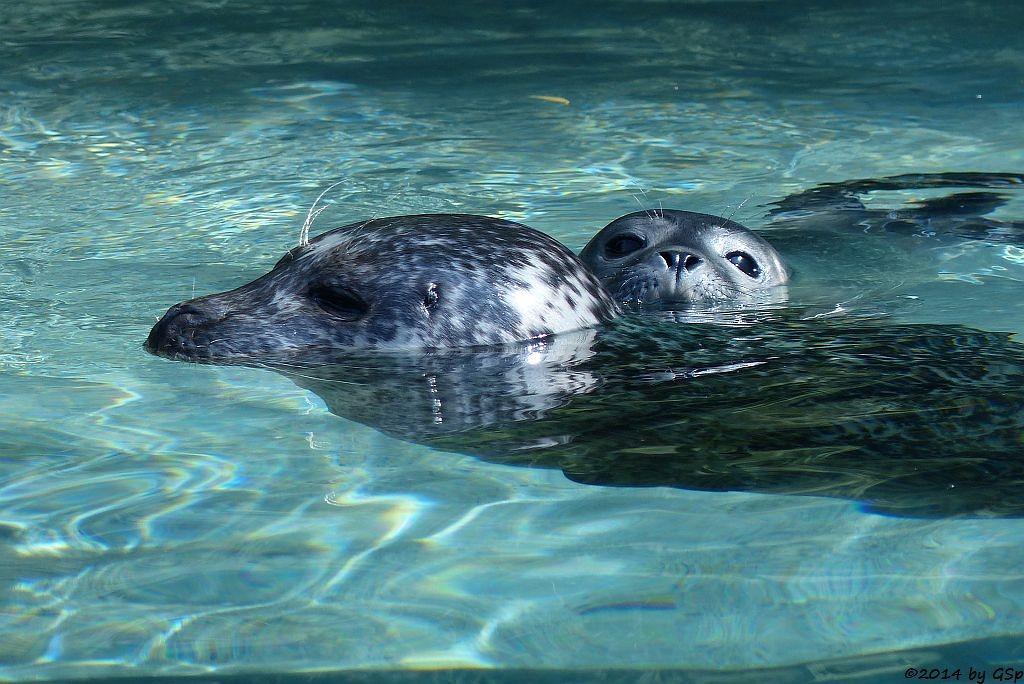 Seehund, Jungtier geb. am 12.7.14 (hier 3 Tage alt)